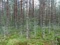 Coniferous forest in Sweden near the Svartälven river 08.jpg