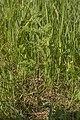 Conium maculatum plant (32).jpg
