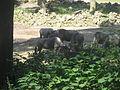 Connochaetes taurinus albojubatus in Burgers' Zoo (Safari).JPG