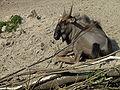 Connochaetes taurinus taurinus Zoo Landau.JPG