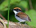 Conopophaga melanops -Vale do Ribeira, Juquia, Sao Paulo, Brazil -male-8.jpg