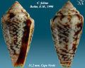 Conus felitae 1.jpg