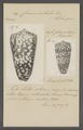 Conus nobulis - - Print - Iconographia Zoologica - Special Collections University of Amsterdam - UBAINV0274 086 07 0012.tif