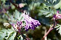 Corydalis Blackberry Wine 2zz.jpg
