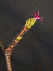 Samičí kvet liesky