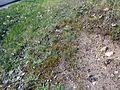 Corynephorus canescens plant (4).jpg