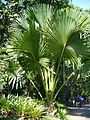 Corypha umbraculifera (Scott Zona) 001.jpg