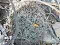 Coryphantha cornifera (5780559600).jpg