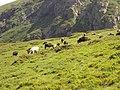 Cows - panoramio (12).jpg
