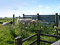 Cows at Mugdock Park (1240825957).jpg