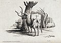 Cows resting and grazing under some trees. Etching by W.-S. Wellcome V0021659.jpg