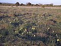 Cowslips and Ant Hills - geograph.org.uk - 406378.jpg