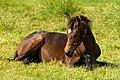 Coy foal - geograph.org.uk - 859136.jpg