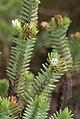 Crassula ericoides ssp. ericoides (Crassulaceae) (4805514650).jpg