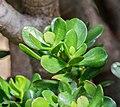Crassula ovata in Botanischer Garten Muenster (1).jpg