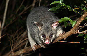 Common brushtail possum - Brushtail possum in tree