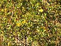 Creosote - Flickr - treegrow.jpg
