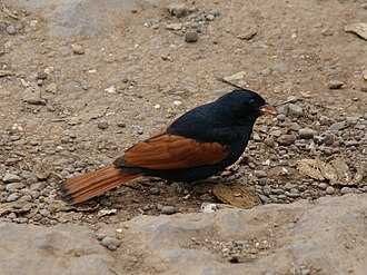Crested bunting - Image: Crested Bunting