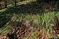 Crocus - panoramio (2).jpg