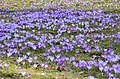 Crocus blooming in Zakopane - panoramio (4).jpg