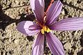 Crocus sativus, saffron (28).jpg
