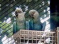 Cropped close-up of Spix's Macaw (Cyanopsitta spixii) at Jurong Bird Park in Singapore.jpg