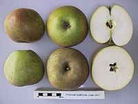 Cross section of Eynsham Dumpling, National Fruit Collection (acc. 1960-047).jpg