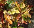 Croton David.Monniaux 2005.jpg