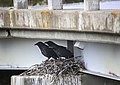 Crows sit in a nest under a bridge near Polychrome Pass on June 9, 2019. (6ffe4583-4e92-480f-aad6-393fb2c565fd).JPG