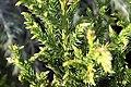 Cryptomeria japonica Black Dragon 0zz.jpg