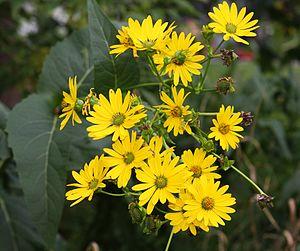 Silphium perfoliatum - A flower cluster