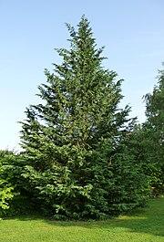 Leyland Cypress Wikipedia