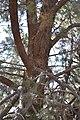 Cupressus nevadensis Hobo Ridge Grove (46) - Flickr - theforestprimeval.jpg