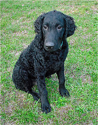 Curly Coated Retriever - 001-2-2.jpg