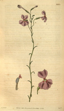Curtis's Botanical Magazine, Plate 3075 (Volume 58, 1831).png