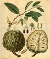 Curtis's Botanical Magazine, Plate 3095 (Volume 58, 1831).png