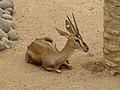 Cuvier's gazelle - Cuviergazelle - Gazelle de Cuvier - Gazella cuvieri - 01.jpg