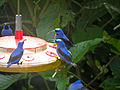 Cyanerpes caeruleus -Asa Wright Nature Centre, Northern Range, Trinidad, Trinidad and Tobago -four males at a bird feeder-8a.jpg