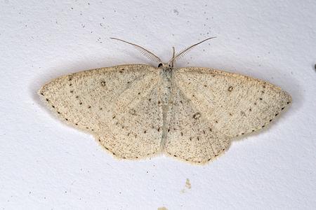 Cyclophora albipunctata, Lodz(Poland)01(js).jpg