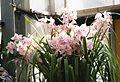 Cymbidium Hybride rosa (12862183183).jpg