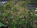 Cyperus haspan 001.jpg
