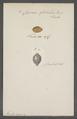 Cypraea globulus - - Print - Iconographia Zoologica - Special Collections University of Amsterdam - UBAINV0274 088 02 0066.tif