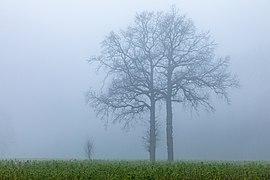 Dülmen, Leuste, Bäume im Nebel -- 2020 -- 5041.jpg