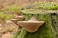Daedalea quercina - Eichen-Wirrling - oak mazegill - maze-gill fungus - dédalée du chêne - 08.jpg