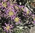 Daggerpod flowers buds close.jpg