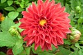 Dahlia at Lalbagh flowershow aug2011 7067.JPG
