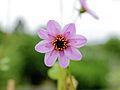 Dahlia merckii-IMG 4645.jpg