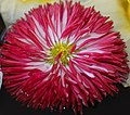 Daisy Bellis perennis 'Habanero Red' Flower 2013px.jpg