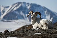 Dall Sheep (14230716182).jpg