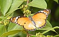 Danaid Eggfly female - Hypolimnas misippus from Chalvara.jpg